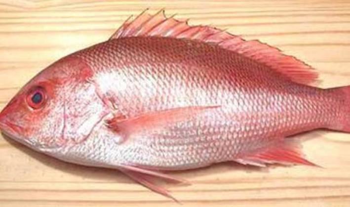 hasil ikan laut kakap merah