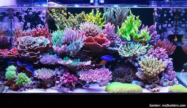 akuarium laut