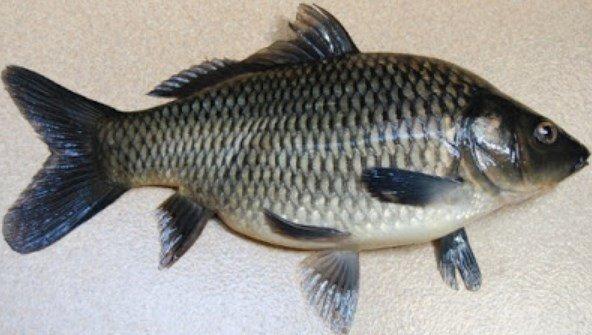 ikan tawar lezat