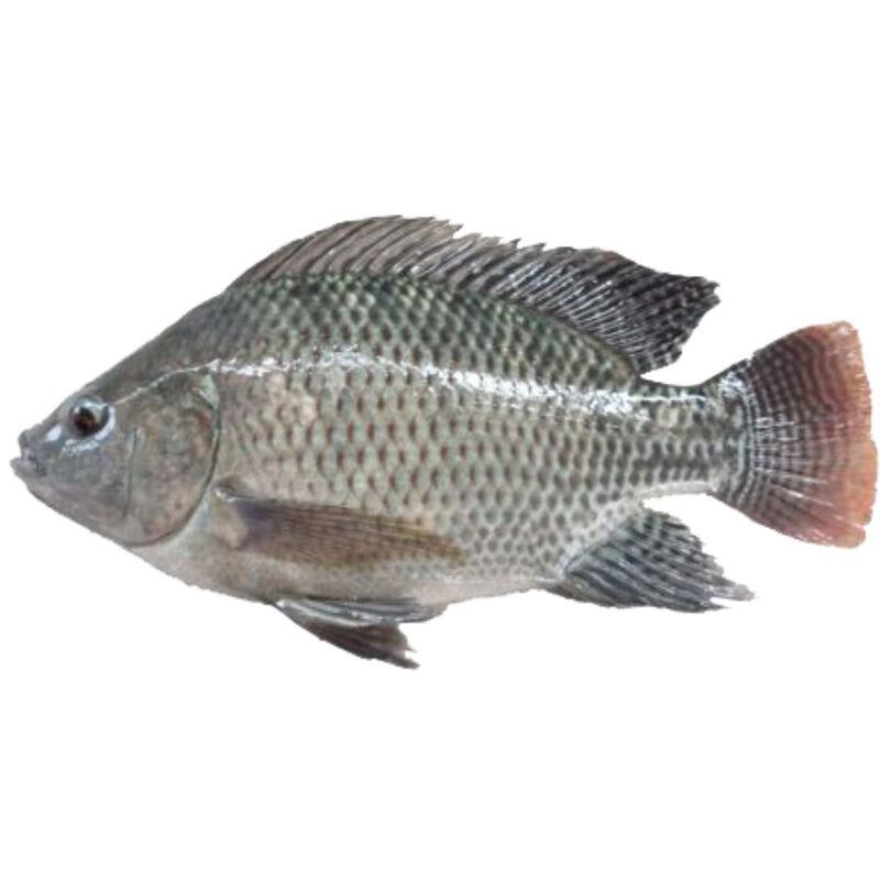 ikan air tawar untuk konsumsi