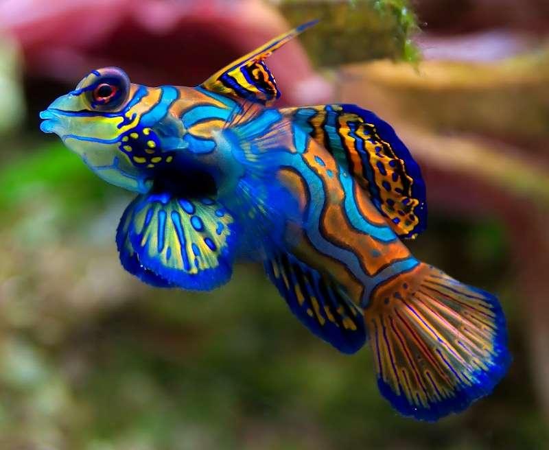 daftar ikan peliharaan termahal