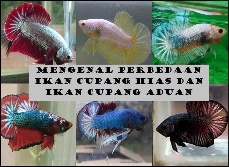 Mengenal Perbedaan Ikan Cupang Hias Dan Ikan Cupang Aduan
