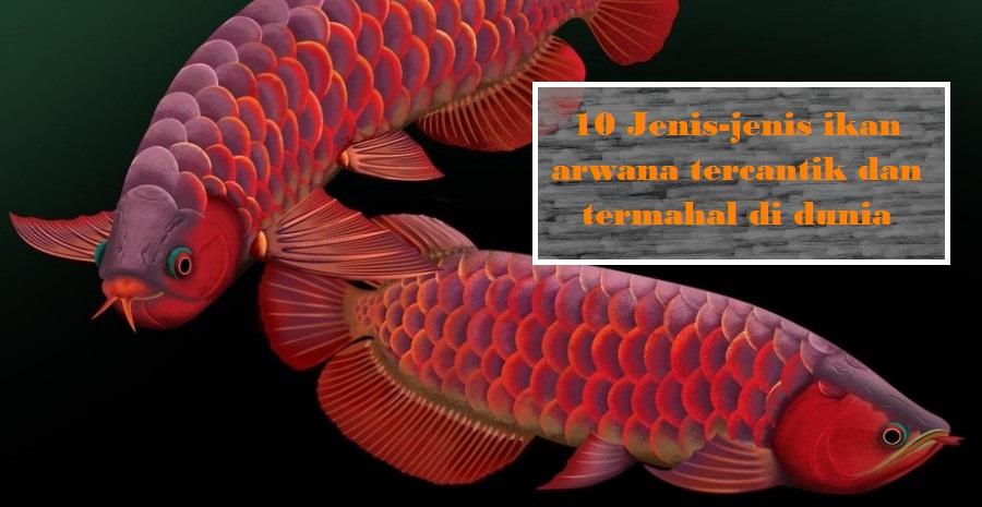 10 Jenis-jenis ikan arwana tercantik dan termahal di dunia