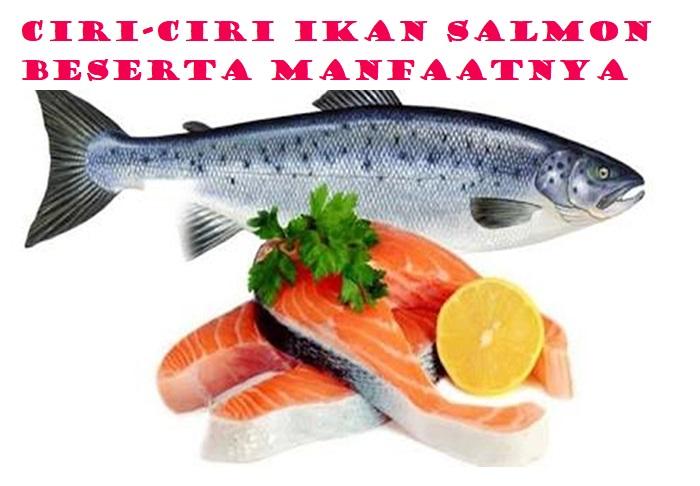 Ciri-Ciri Ikan Salmon Beserta Manfaatnya