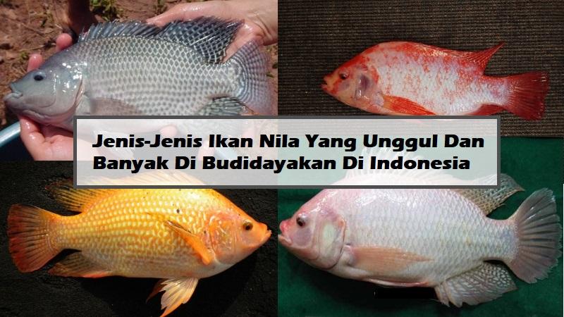 Jenis-Jenis Ikan Nila Yang Unggul Dan Banyak Di Budidayakan Di Indonesia
