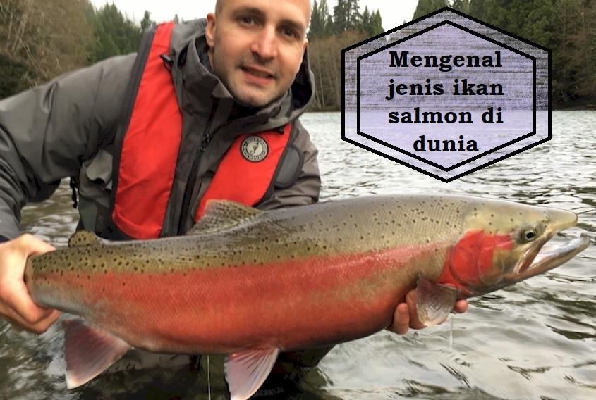 Mengenai 6 jenis ikan salmon di dunia