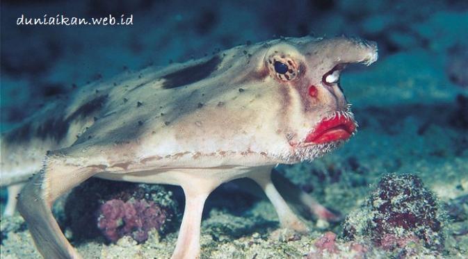 Ikan Kalelawar