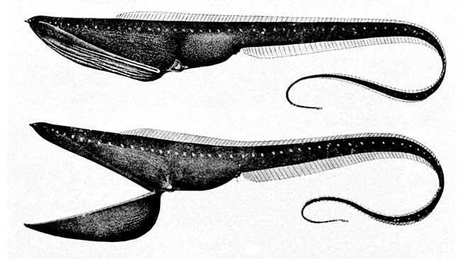 Belut Pelikan