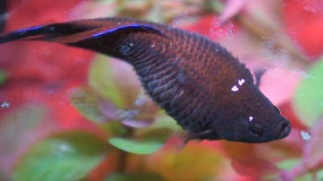 Gejala Sisik Nanas Pada Ikan Cupang