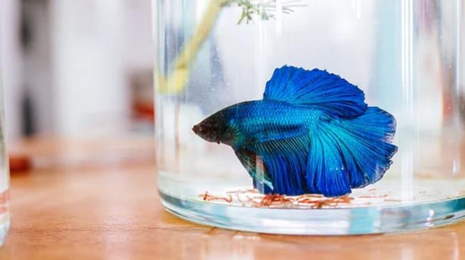 Menjemur Ikan Cupang