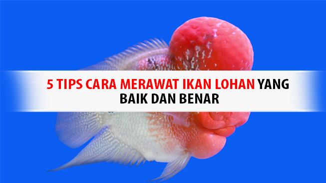Tips Cara Merawat Ikan Lohan