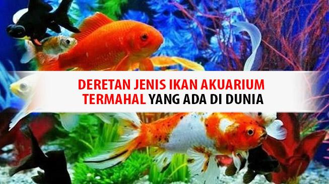 Ikan Akuarium Termahal